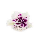 Terry petunia flower isolated on white Royalty Free Stock Photos