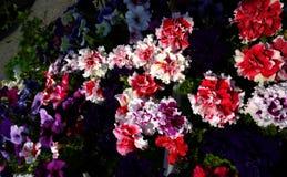 Terry piękny kwiat Zdjęcia Stock