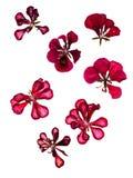 Terry red decorative geranium perspective, dry pressed delicate stock photo