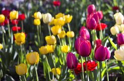 Terry red tulips and pink, yellow and white tulips bloom  in the garden. Bright spring flowers royalty free stock images
