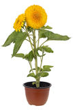 Terry sunflower Stock Photography