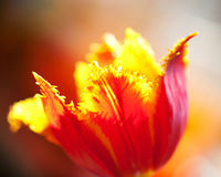 Terry tulip flowe. Macro Royalty Free Stock Photography