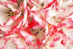 Terry tulip petals Stock Image