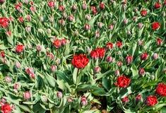 Terry tulipany Abba Obraz Royalty Free