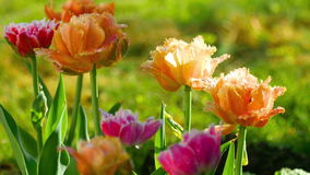 Terry tulips after rain stock footage