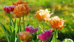 Terry tulips after rain stock video footage
