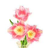 Terry tulips Stock Image