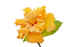 Terry yellow hibiscus Royalty Free Stock Photography