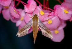 Tersa Sphinx Moth Royalty Free Stock Image