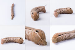Tersa Sphynx毛虫 免版税库存图片