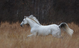 Tersk horse running. In the field stock image