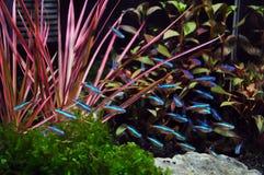 Terta de néon no aquário Foto de Stock Royalty Free