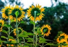 Terug van de zonnebloemen Stock Afbeeldingen