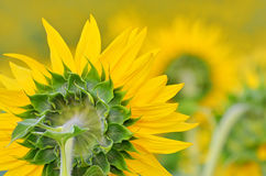 Terug van een gele zonnebloem Royalty-vrije Stock Fotografie