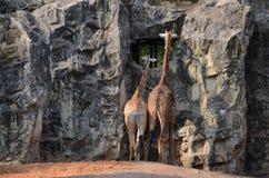 Terug van giraf twee Stock Afbeeldingen