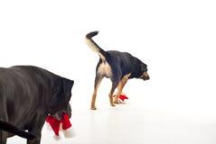 Terug van het lopen van honden met de hoeden van de Kerstman Royalty-vrije Stock Fotografie