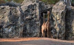 Terug van twee giraffen Royalty-vrije Stock Afbeelding