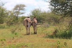 Terug van Zebras Stock Afbeeldingen