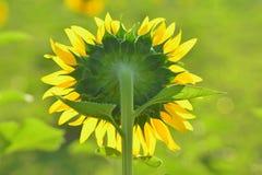 Terug van zonnebloem in de tuin Stock Fotografie