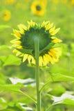 Terug van zonnebloem in de tuin Stock Afbeelding