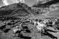 Terugkeer van het vee in Alto Adige Stock Afbeelding
