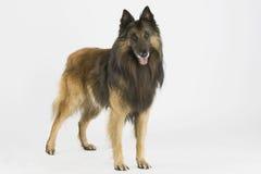 Tervueren Dog Stock Photos
