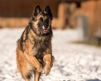 Shepherd dog is running in the snow in winter stock photo