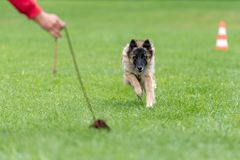 Shepherd is playing in training with his instructor royalty free stock photo