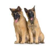 бельгийские щенята tervuren Стоковые Изображения RF
