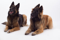 Tervuren bitch and dog lying down, white studio background Royalty Free Stock Photos