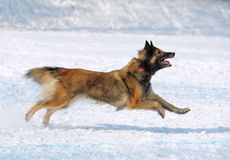 Tervuren dog runs Stock Photo