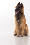Tervuren puppy dog on shiny white floor Stock Images