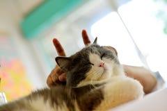 Tesase cat Stock Photography