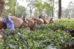 Teskördearbetare, västra Bengal, Indien Royaltyfri Bild