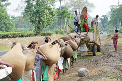 Teskördearbetare, västra Bengal, Indien Arkivbild