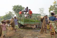 Teskördearbetare, västra Bengal, Indien Arkivfoto
