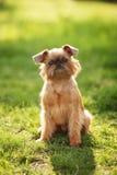 Tesoro del cane di grifone Fotografie Stock Libere da Diritti