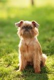 Tesoro del cane di grifone Fotografia Stock Libera da Diritti