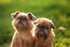 Tesoro del cane di grifone Fotografia Stock