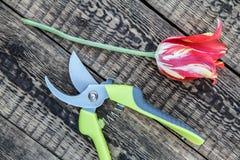 Tesoura de podar manual e tulipa cortada na placa de madeira fotografia de stock