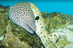 Tessalata Eel in Aquarium Stock Images