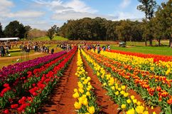 Tesselaar Tulip Festival in Victoria, Australia royalty free stock photography