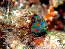 Tesselated Blenny Lizenzfreie Stockfotos