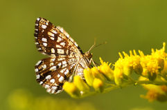 Tesselated skipper on a goldenrod. Bright butterfly drinking nectar from the yellow wildflower Royalty Free Stock Photos