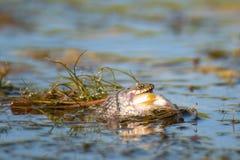 Tessellata ужа змейки кости уловило рыбу стоковые изображения