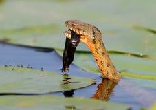 Tessellata ужа змейки кости уловило рыбу и ест его Стоковое Фото