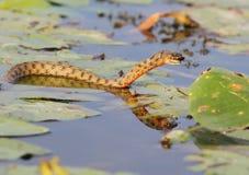 Tessellata ужа змейки кости уловило рыбу Стоковая Фотография