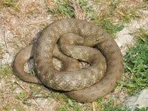 Tessellata ужа змейки кости Стоковое Изображение