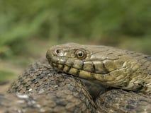 Tessellata Natrix - змейка плашек - Стоковое Изображение RF