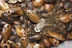 Tessellata van kakkerlakkenarchimandrita Stock Foto